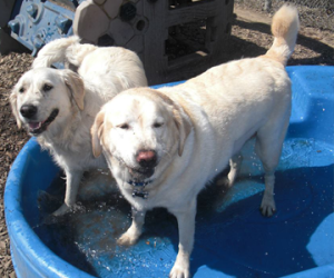 dogs at daycare playing in pool